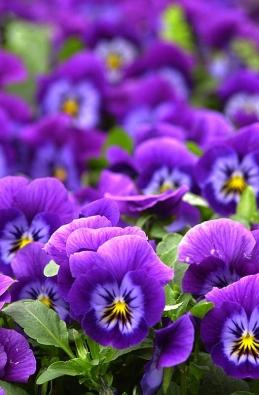 Maceška neboli violka se pěstuje ve dvou skupinách. Jednou jsou odrůdy křížence Viola x wittrockiana, které kvetou jen na jaře, druhou odrůdy macešky rohaté (Viola cornuta), které zdobí neúnavně od jara do léta.