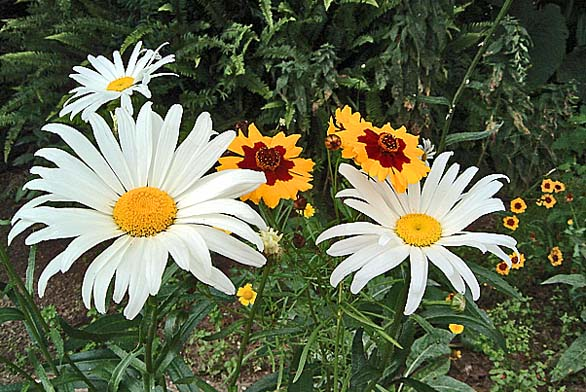 Chrisanthemum maximum