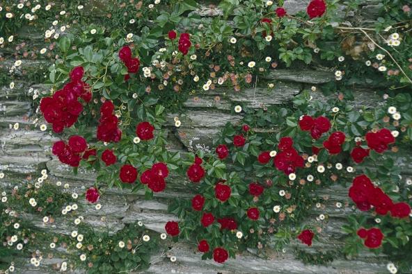 Jedna z nejlepších pnoucích růží Sympatie (Kordes) roste u kamenné zdi, z jejíchž štěrbin se dere slunomilný turan (Erigeron karvinskianus).