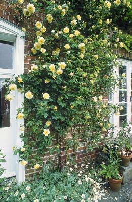 Anglická odrůda The Pilgrim (David Austin Roses) může být keřová nebo pnoucí – v tom případě dorůstá asi  2,5 m. Silně voní po čajových růžích  a myrtě, je odolná, má pěkný zdravý list, kvete opakovaně.