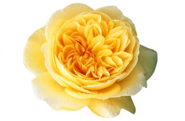 Plnokvětá anglická Teasing Georgia (David Austin Roses) je uprostřed sytě žlutá,  vnější plátky jsou jemně žluté. Silně voní, kvete opakovaně, je odolná.  Keř je poměrně robustní (šířka 1,2 m, výška 1 m jako keř  nebo až 2,5 m jako pnoucí).