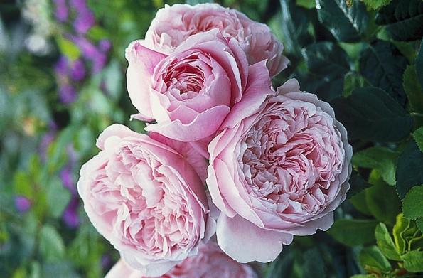 """Delikátně růžové květy """"angličanky"""" Spirit of Freedom (David Austin Roses) se během kvetení mění na šeříkovou. (šířka 1,5 m, výška 1,2 m). Keř je odolný proti chorobám, kvete opakovaně."""