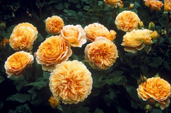 Anglická růže Crocus Rose (David Austin Roses) rozkvétá nejdříve kulovitými, později ploše otevřenými meruňkovými voňavými květy na obloukovitých větvích. Kvete opakovaně. Keř je vysoký asi 1 m a něco přes metr široký.