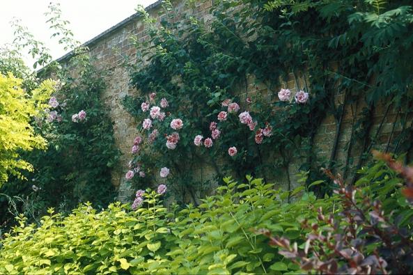 Plnokvětá popínavá růže se dokonale odráží od omšelé cihlové zdi. Podpoří ji žlutolistá meduňka (Melissa officinalis 'Aurea') iakát (Robinia pseudoakacia 'Frisia') ačervenolistý dřišťál (Berberis thunbergii 'Atropurpurea'.