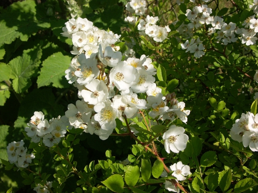 Spousty drobných bílých květů mají botanické růže Rosa arvensis nebo  R. multiflora. Obě se dají pěstovat  jako solitéry, případně pro krytí  velkých svahů.