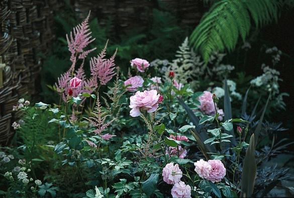Jemně růžové mnohokvěté nebo nízké anglické odrůdy růží vypadají krásně ve smíšeném záhonu s trvalkami v podobných tónech – zde s jarmankou (Astrantia major) a čechravou (Astilbe sp.).