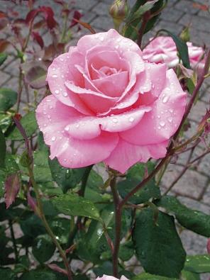 Velkokvěté růže se hodí spíše do větších zahrad, kde nevadí období, kdy růže moc nekvetou a keře jsou sestříhané, nezajímavé. Máte-li ale místo a čas o ně pečovat, odmění vás krásnými květy.