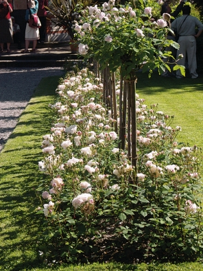 Krásně vypadá záhon stromkových růží, podsázených mnohokvětými růžemi stejné odrůdy. Mohou být ještě doplněny živým plůtkem ze zimostrázu (Buxus) nebo levandule.