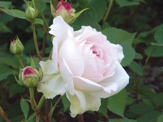 O něžně růžová Heritage (David Austin) říká její šlechtitel, že je to jedna z nejlepších, které vyšlechtili. Kvete celé léto plnými oblý a silně vonnými květy. Keř je nejdřív volný, později kompaktní (asi 1,2 m).