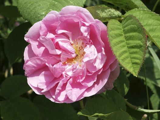 Růže damašská (Rosa damascena) se díky vysokému obsahu vonných esencí stala základem pro výrobu růžového oleje, který  se používá pro výrobu parfémů. Dorůstá jen 0,7–1m, kvete sice jen jednou, ale keř vypadá dobře imimo dobu květu.