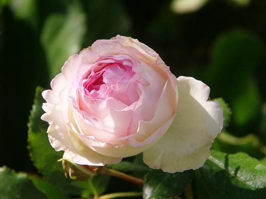 Růže jako z ráje Eden Rose se dá pěstovat jako solitéra, ve skupině nebo jako menší popínavá. Polouzavřené plné květy nejprve rozkvétají bíle, báze plátků jsou nazelenalé. Jejich růžové lemy postupně získávají na intenzitě.
