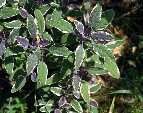 Lístek šalvěje lékařské (Salvia officinalis) přidaný do čaje pomáhá léčit nemoci znachlazení, kašel arýmu, tiší průjem apomáhá při trávení. Šalvěj je ve větším množství jedovatá, proto do čajů ivkuchyni přidávejte jen lísteček na porci. Šalvěj neužívejte dlouhodobě.