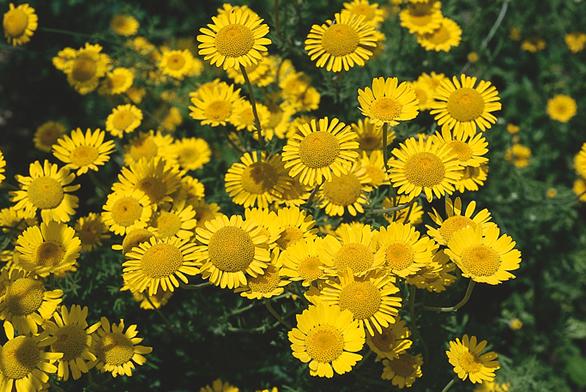 Rmen barvířský (Anthemis tinctoria) pod okny zahání obtížný hmyz. Květy byly osvědčeným žlutým přírodním barvivem. Snadno zplaňuje, je nenáročný, ale vyžaduje plné slunce.