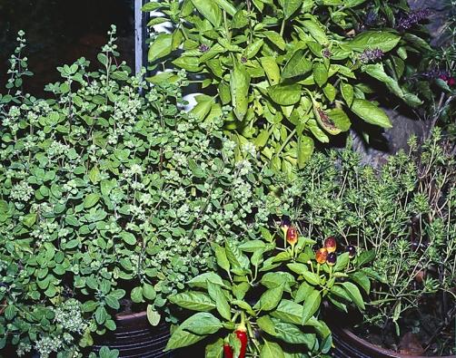 Bujná skupina saturejky, papriček amajoránky slibuje kulinářské zážitky až do zámrazu.