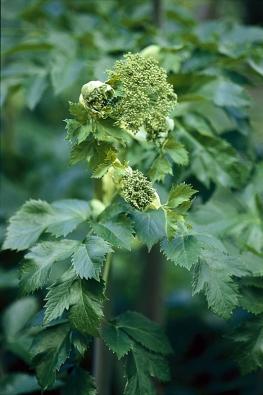 Andělika (Archangelica officinalis) je dodnes vyhledávána pro léčivý kořen, který pomáhá při trávicích obtížích. Oloupaný kořen se dříve nabízel malým dětem ke hryzání při prořezávání zoubků. Kvete jednou za 3–4 roky apo dozrání plodů odumírá. Pěstuje se také jako okrasná rostlina.