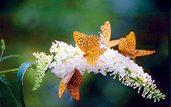 Komulí byla vyšlechtěna celá řada kultivarů skvěty vbarvách od bílé přes růžovou asvětle fialovou po purpurovou až skoro černou.
