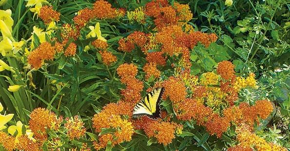 Lantana kvete po celé léto, květy mění barvu.