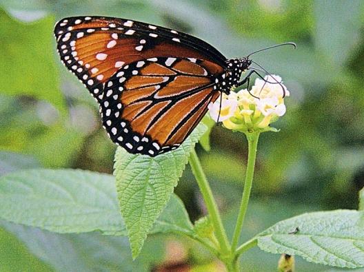 Lantana se hodí do nádob, motýly láká neúnavným kvetením od června až do října.