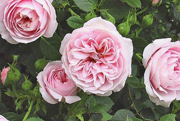 Usušte si kytici růží