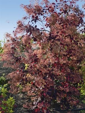 Ruj vlasatá (Cotinus coggygria) 'Royal Purple' je kultivar, který vyniká sytě purpurovými listy aod června do července jemnými latami nachových květů. Vyhovuje jí alkalická propustná půda aslunné stanoviště.
