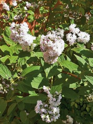 Trojpuk (Deutzia x magnifica) je rychle rostoucí keř dosahující výšky až 3m. Kvete včervnu velkými hrozny bílých květů.