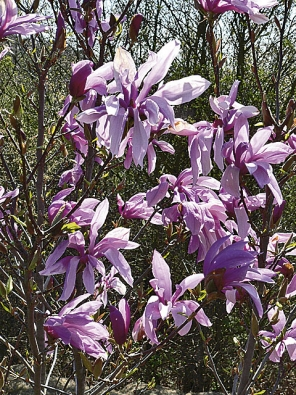 Šácholan (Magnolia) 'Susan' kvete velmi dlouho od konce dubna do května až června. Roste pomalu avynikne především jako soliterní rostlina.