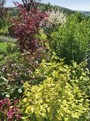Kombinacemi keřů srůzně zbarvenými listy zajistíme pestrou podívanou po celý rok. Na obrázku červenolistý javor Acer palmatum, za ním vrba Salix integra 'Hakuro Nišiki' avpopředí zlatavý tavolník Physocarpus opulifolius 'Goldflame'.