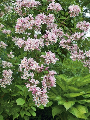 Kolkvicie krásná (Kolkwitzia amabilis) je velmi cennou rostlinou. Je mimořádně nenáročná asnáší konkurenci vyšších stromů azastínění. Kvete bohatě od konce května do června.