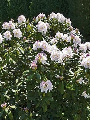 Rododendron na jaře rozsvítí svými mohutnými květenstvími zákoutí ve stínu stromů.