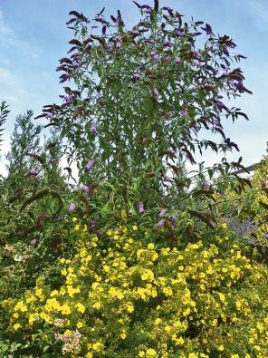 Komule Davidova neboli tibetský šeřík (Buddleia davidii) kvete od června do září asvými voňavými květenstvími láká množství motýlů. Hodí se jak do volných skupinových výsadeb keřů, tak jako solitera. Na obrázku vdoprovodu smochnou křovitou (Potentilla fruticosa).