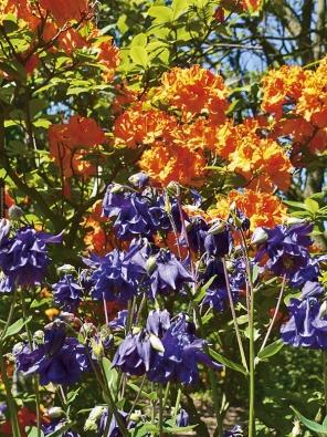 Divoká kombinace zářivě kvetoucí azalky (Azalea) amodrých orlíčků (Aquilegia) na sebe strhne veškerou pozornost.