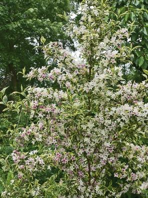 Odrůda vajgélie  'Nana Variegata' zdobí zahradu po celý rok panašovanými listy aod května do června jemně růžovými květy.