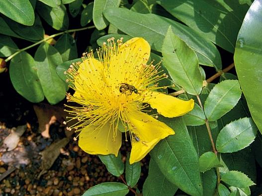 Třezalka Hypericum calicinum