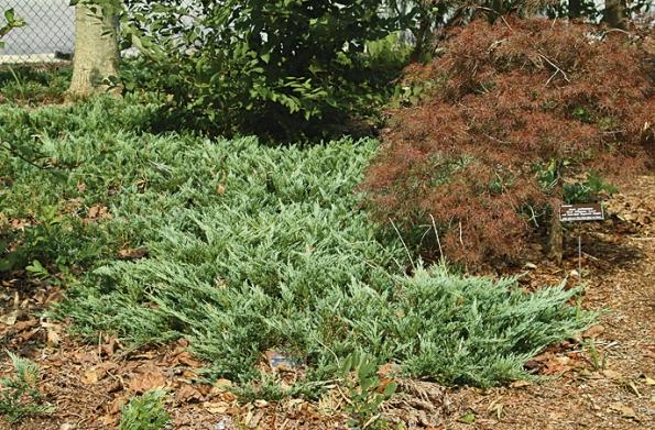 Jalovec Juniperus horizontalis