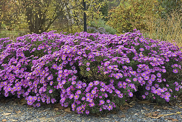 Astry ozdobí podzimní zahradu