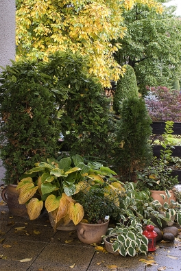 Na terase se daří několika druhům hosty. Mezi tújemi se vyjímají zlatozelené listy aukuby japonské (Aucuba japonica).