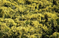 "Juniperus horizontalis ""Golden Carpet"""