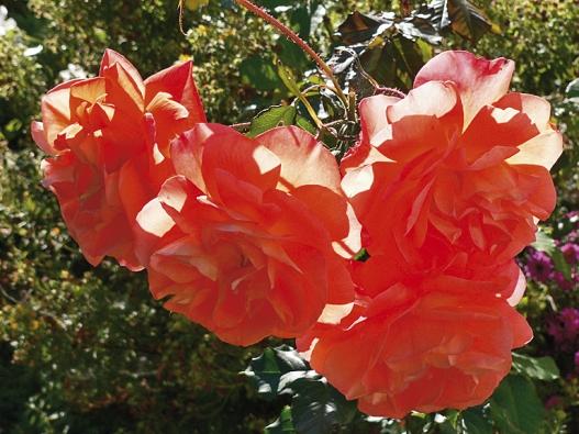 Moderní kultivary růží mají velmi výrazné barvy – jako tato keřová růže ´Westerland´.
