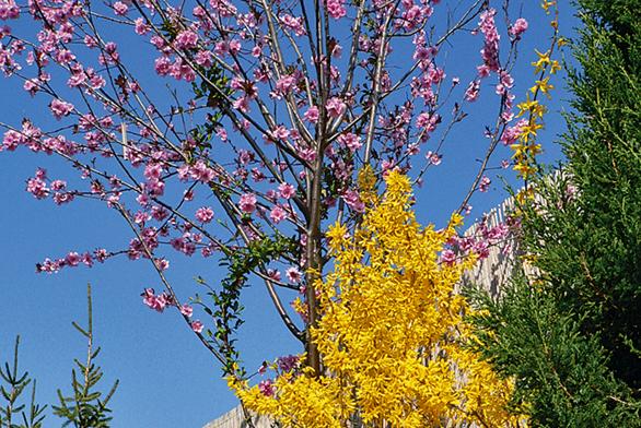 Nebojte se vyšší zeleně ani namalém prostoru. Nejnižší vegetační patro je tu tvořeno sasankami (Anemone blanda), následuje zlatice (Forsythia x intermedia) anad nimi rozkvétá broskvomandloň (Prunus ´April Glow´).