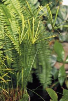 Šáchor je bahenní rostlina z Madagaskaru. Potřebuje teploty nad 10°C, bohatou zálivku a vysokou vlhkost.
