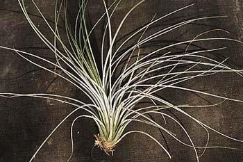 Na tilandisových aranžmá by neměl chybět nenáročný trávolistý druh T.juncea.