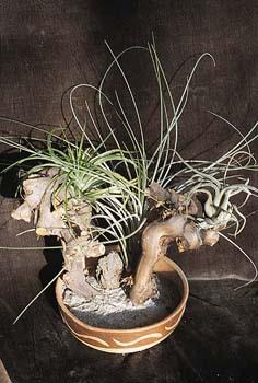 """Tilandsie se bezesporu vymykají představám o """"normálních"""" rostlinách."""