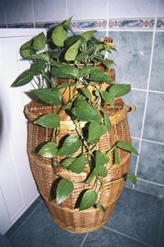 Pokud zaléváme vodovodní vodou, musíme rostliny mnohem častěji přesazovat ze znehodnoceného substrátu.