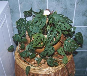 Spíše než na bloudění v pestrobarevné koupelnové džungli bychom se však měli připravit na péči o jednu či  několik méně náročných zelenolistých rostlin.