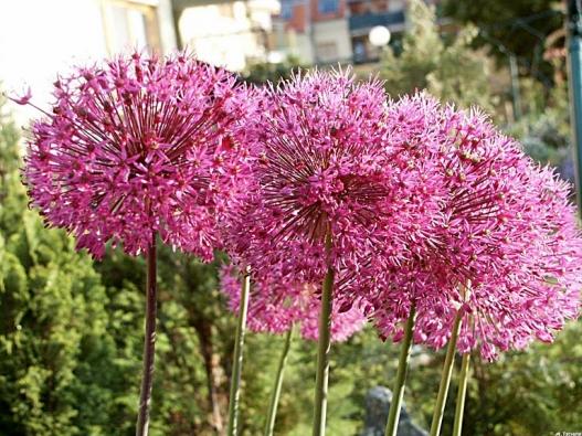 Česnek (Allium giganteum)