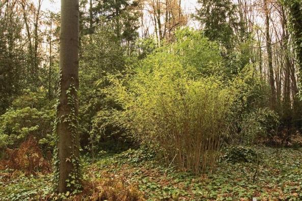 Zahradě dodá nádech exotiky trs mrazuvzdorných bambusů.