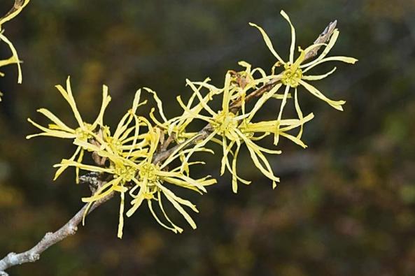 Detail květů vilínu virginského (Hamamelis virginia).