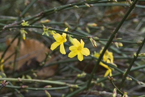 Jasmín (Jasminum nudiflorum), který nevoní.