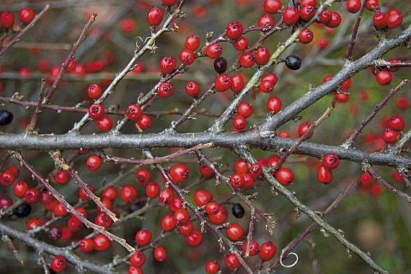 Plody skalníku (Cotoneaster) vydrží jen část zimy, na rozdíl od cesmíny a libavky.