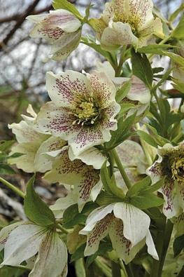 Krásný kříženec čemeřice (Heleborus hybrid) předčí svými kvalitami původní druhy.